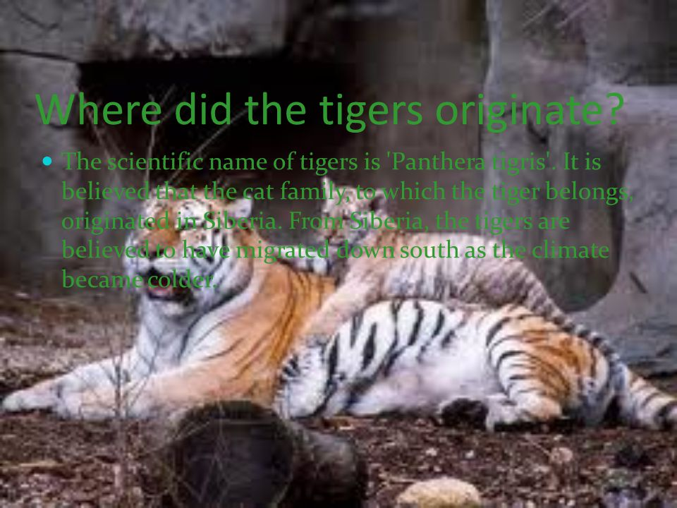 Where did the tigers originate.The scientific name of tigers is Panthera tigris .