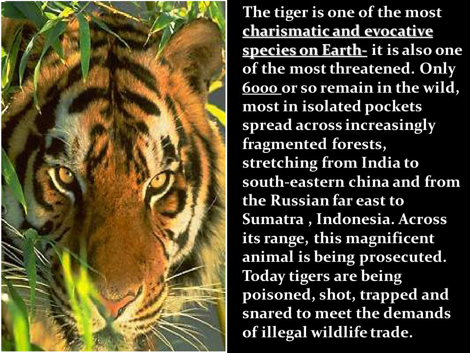 charismatic and evocative species on Earth- The tiger is one of the most charismatic and evocative species on Earth- it is also one of the most threatened.