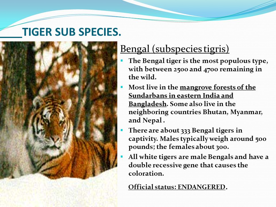 TIGER SUB SPECIES. Bengal (subspecies tigris)  The Bengal tiger is the most populous type, with between 2500 and 4700 remaining in the wild. mangrove