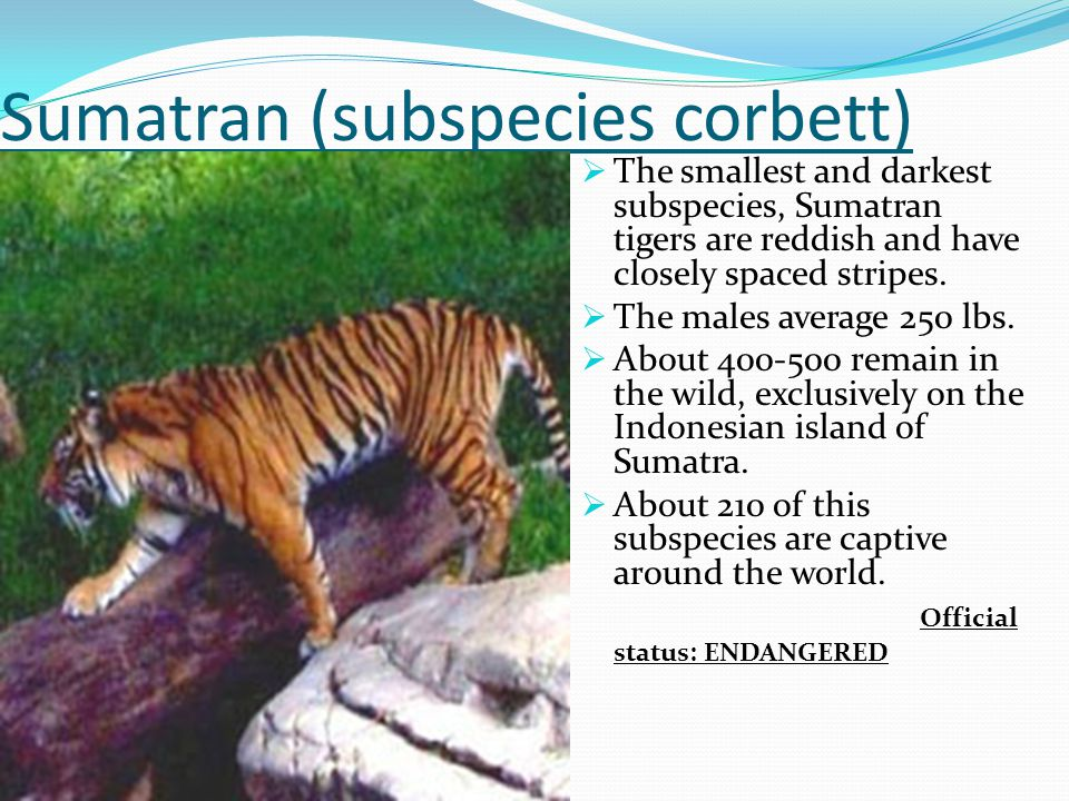 Sumatran (subspecies corbett)  The smallest and darkest subspecies, Sumatran tigers are reddish and have closely spaced stripes.