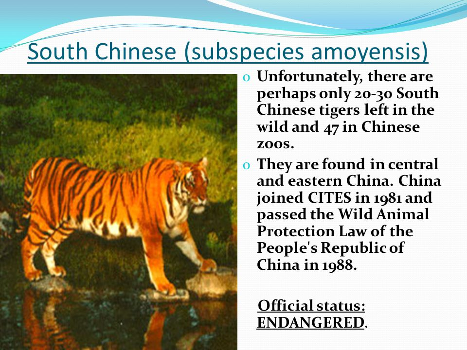 South Chinese (subspecies amoyensis) o Unfortunately, there are perhaps only 20-30 South Chinese tigers left in the wild and 47 in Chinese zoos.