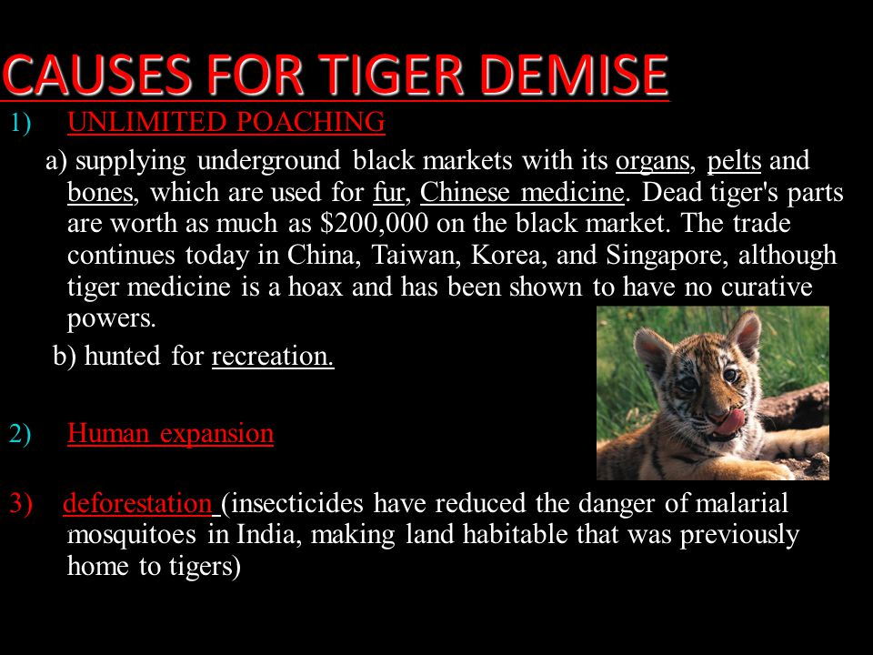 CAUSES FOR TIGER DEMISE 1) UNLIMITED POACHING a) supplying underground black markets with its organs, pelts and bones, which are used for fur, Chinese medicine.
