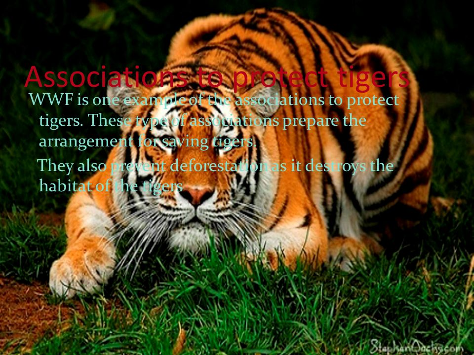 Associations to protect tigers WWF is one example of the associations to protect tigers.