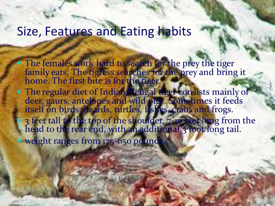 Size, Features and Eating habits The females work hard to search for the prey the tiger family eats.