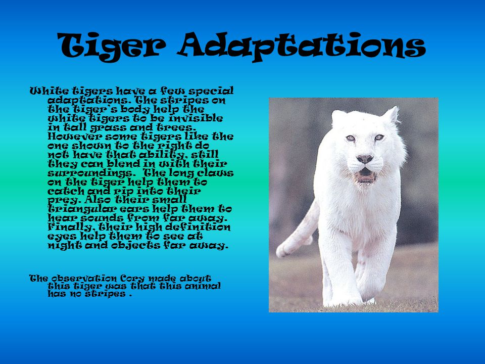 Tiger Adaptations White tigers have a few special adaptations.