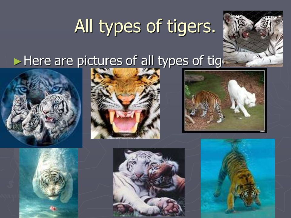 All types of tigers. ► Here are pictures of all types of tigers.