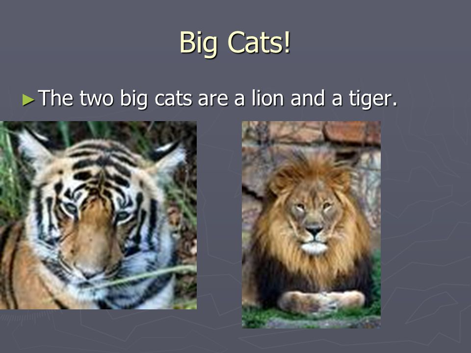 Big Cats! ► The two big cats are a lion and a tiger.