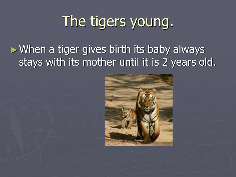 The tigers young.