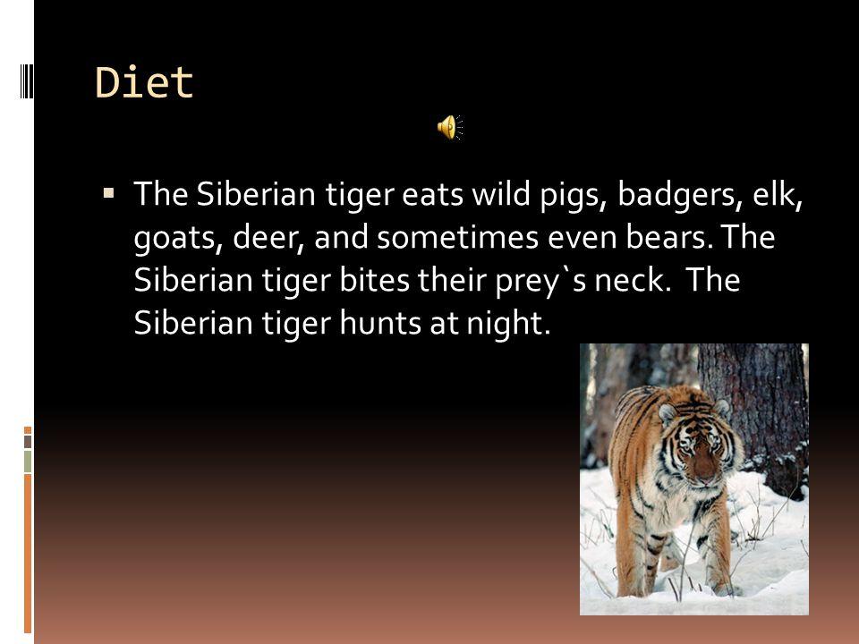 Diet  The Siberian tiger eats wild pigs, badgers, elk, goats, deer, and sometimes even bears.