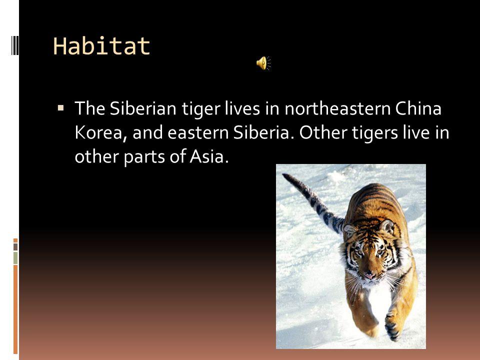 Habitat  The Siberian tiger lives in northeastern China Korea, and eastern Siberia.