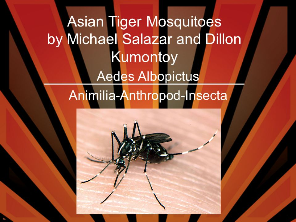 Asian Tiger Mosquitoes by Michael Salazar and Dillon Kumontoy ______________________ Aedes Albopictus Animilia-Anthropod-Insecta