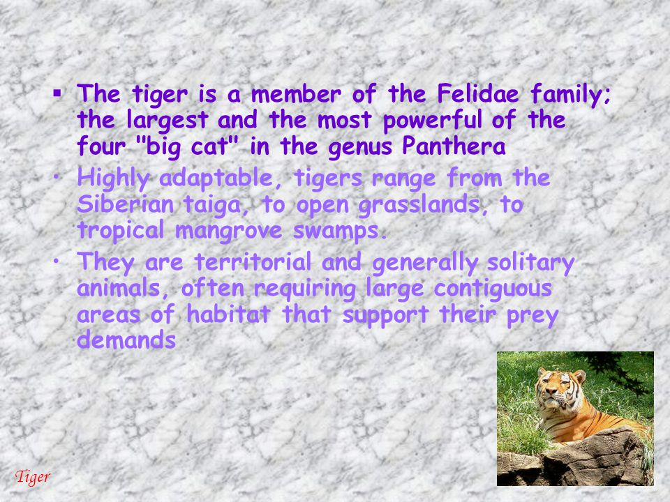  The tiger is a member of the Felidae family; the largest and the most powerful of the four big cat in the genus Panthera Highly adaptable, tigers range from the Siberian taiga, to open grasslands, to tropical mangrove swamps.