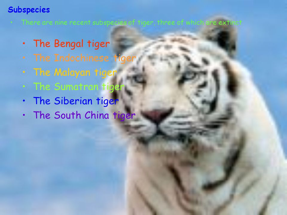 Subspecies There are nine recent subspecies of tiger, three of which are extinct The Bengal tiger The Indochinese tiger The Malayan tiger The Sumatran tiger The Siberian tiger The South China tiger