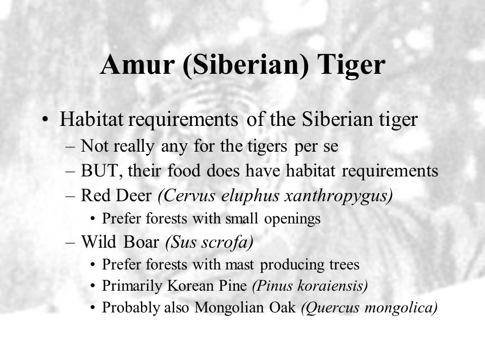 Amur (Siberian) Tiger Causes of the population declines –Poaching –Habitat loss Habitat loss arrived in eastern Russia with the railroads.