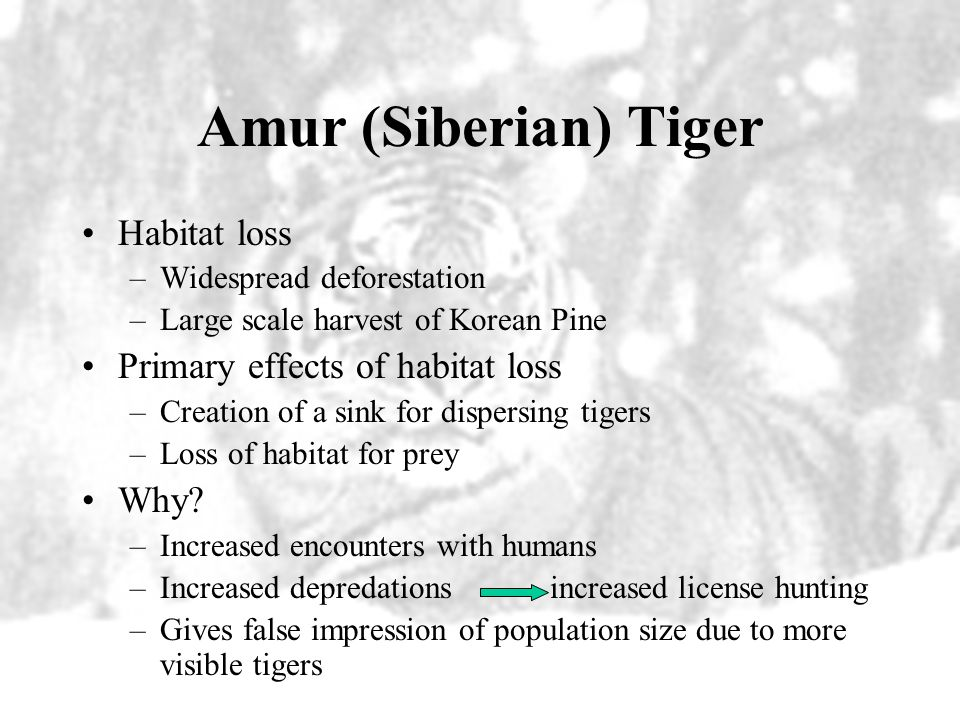 Amur (Siberian) Tiger Wild BoarRed Deer