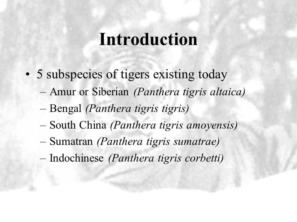 Life History Weight –Male Indochinese tigers weigh about 400 pounds – Female Indochinese tigers weigh about 250 pounds Length –Male Indochinese tigers average 9 feet from head to tail –Female Indochinese tigers are smaller, about 8 feet in length