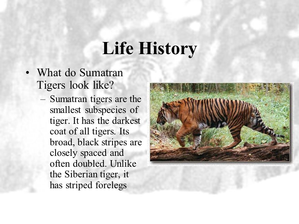Distribution Sumatran tigers are only found on the island of Sumatra About 400 to 500 Sumatran tigers live in the wild, mostly in the island's five na