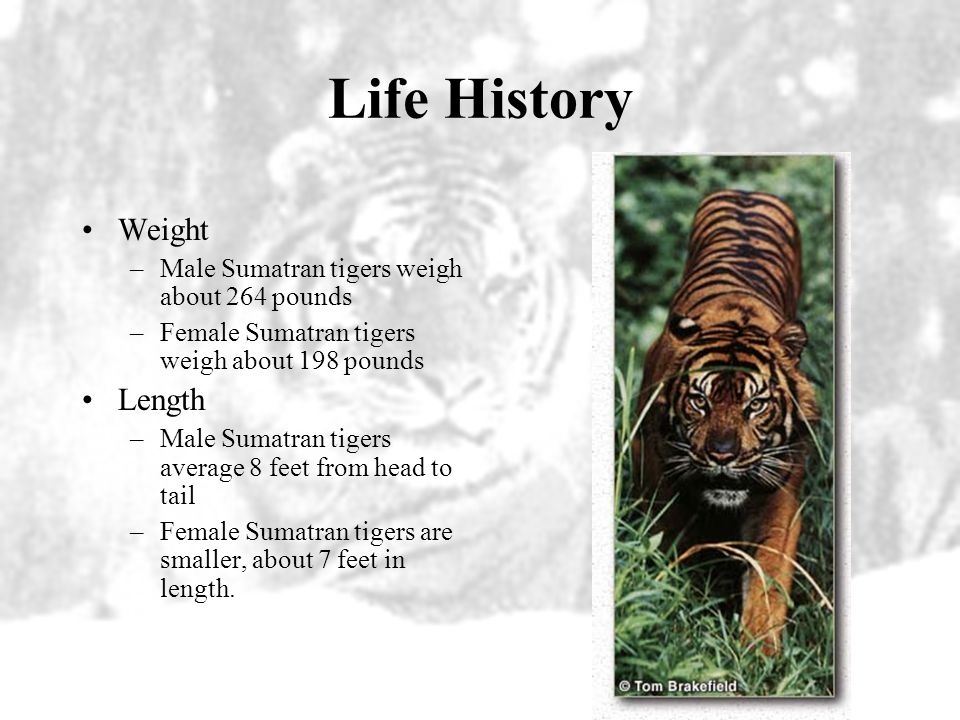 Life History What do Sumatran Tigers look like? –Sumatran tigers are the smallest subspecies of tiger. It has the darkest coat of all tigers. Its broa