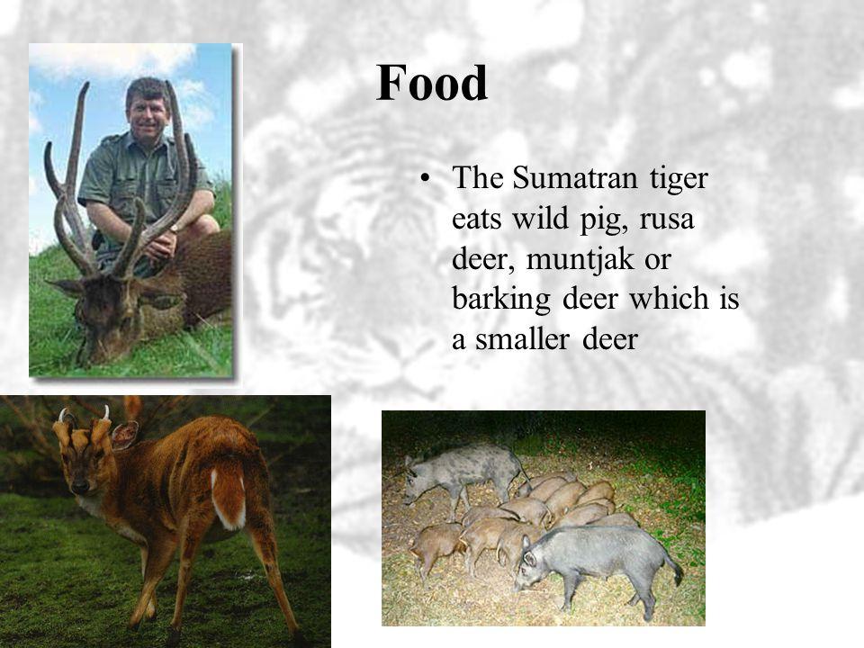 Life History Weight –Male Sumatran tigers weigh about 264 pounds –Female Sumatran tigers weigh about 198 pounds Length –Male Sumatran tigers average 8