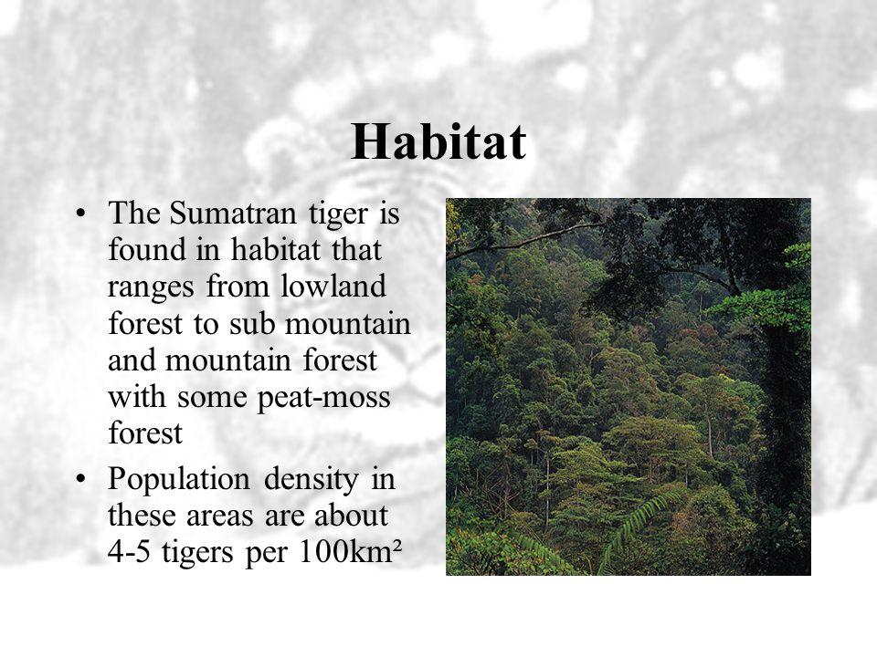 Food The Sumatran tiger eats wild pig, rusa deer, muntjak or barking deer which is a smaller deer