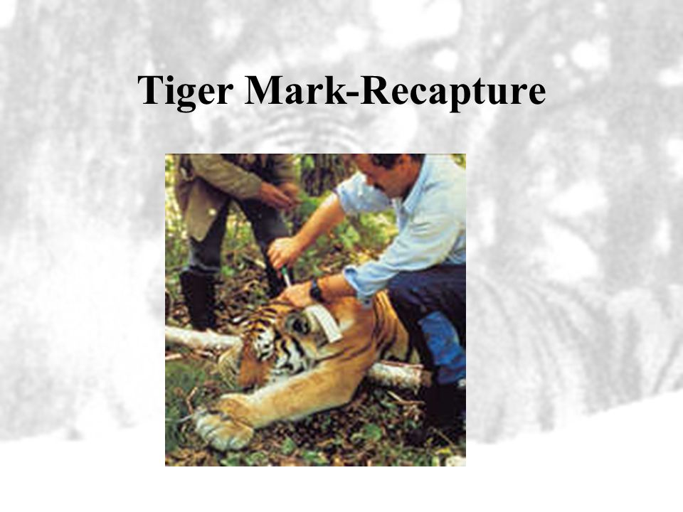 Conservation Mark-recapture efforts –This is a similar grid system that is used in estimating the tiger populations in Sumatra –Study by Karanth and N