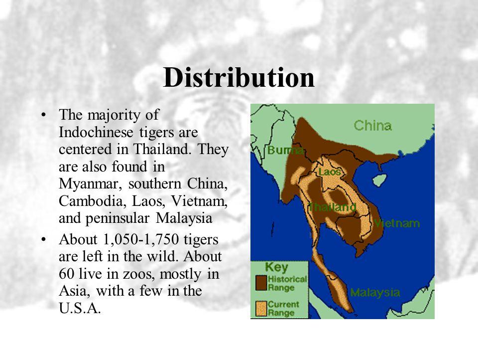 Indochinese Tigers »Panthera tigris corbetti