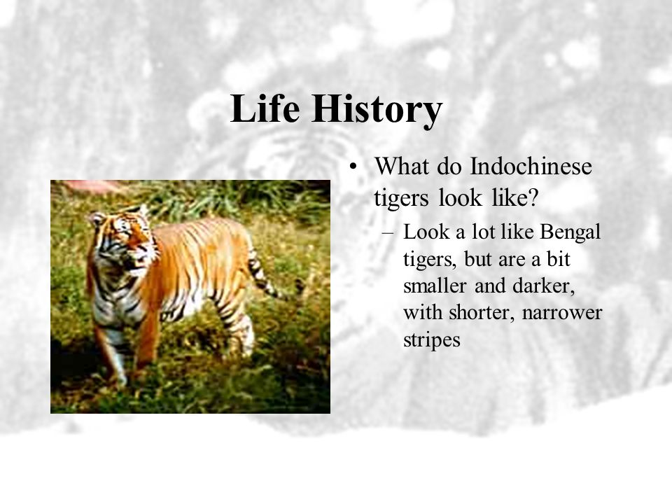 Distribution The majority of Indochinese tigers are centered in Thailand. They are also found in Myanmar, southern China, Cambodia, Laos, Vietnam, and