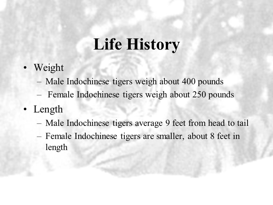 Life History What do Indochinese tigers look like? –Look a lot like Bengal tigers, but are a bit smaller and darker, with shorter, narrower stripes