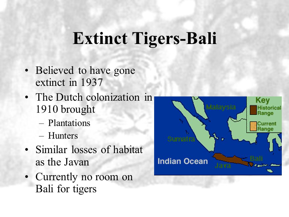 Extinct Tigers-Bali Believed to have gone extinct in 1937 The Dutch colonization in 1910 brought –Plantations –Hunters Similar losses of habitat as the Javan Currently no room on Bali for tigers