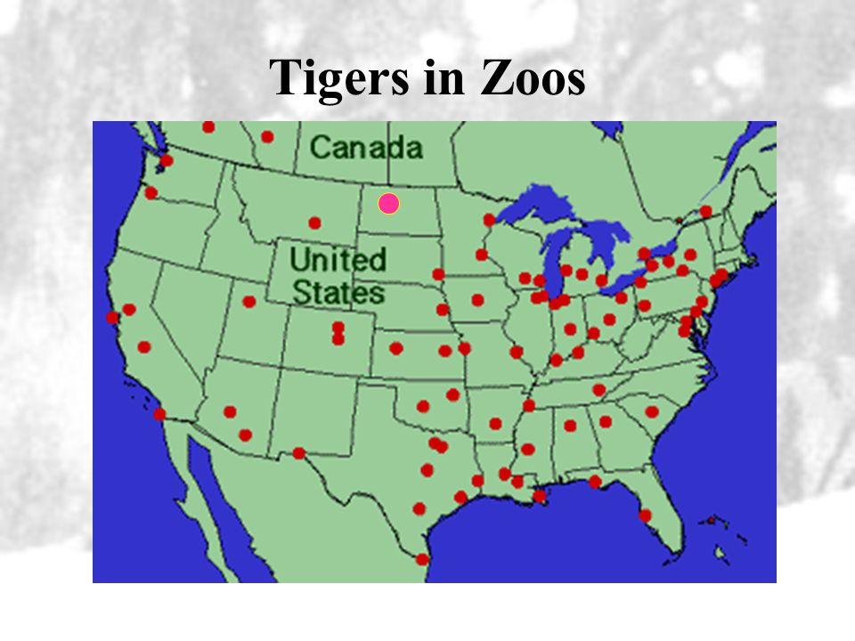 Status of Captive Tigers 20% of the entire tiger population is studbook-registered: –475 Siberian –235 Sumatran –300 Bengal –50 South China –35 Indoch