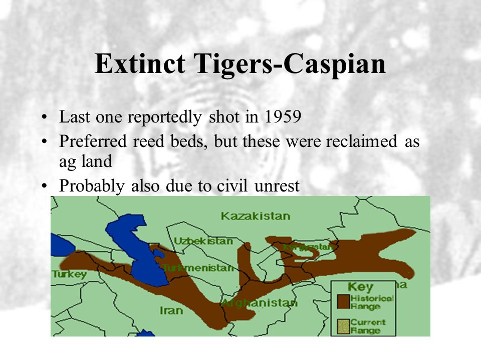 Extinct Tigers-Caspian Last one reportedly shot in 1959 Preferred reed beds, but these were reclaimed as ag land Probably also due to civil unrest