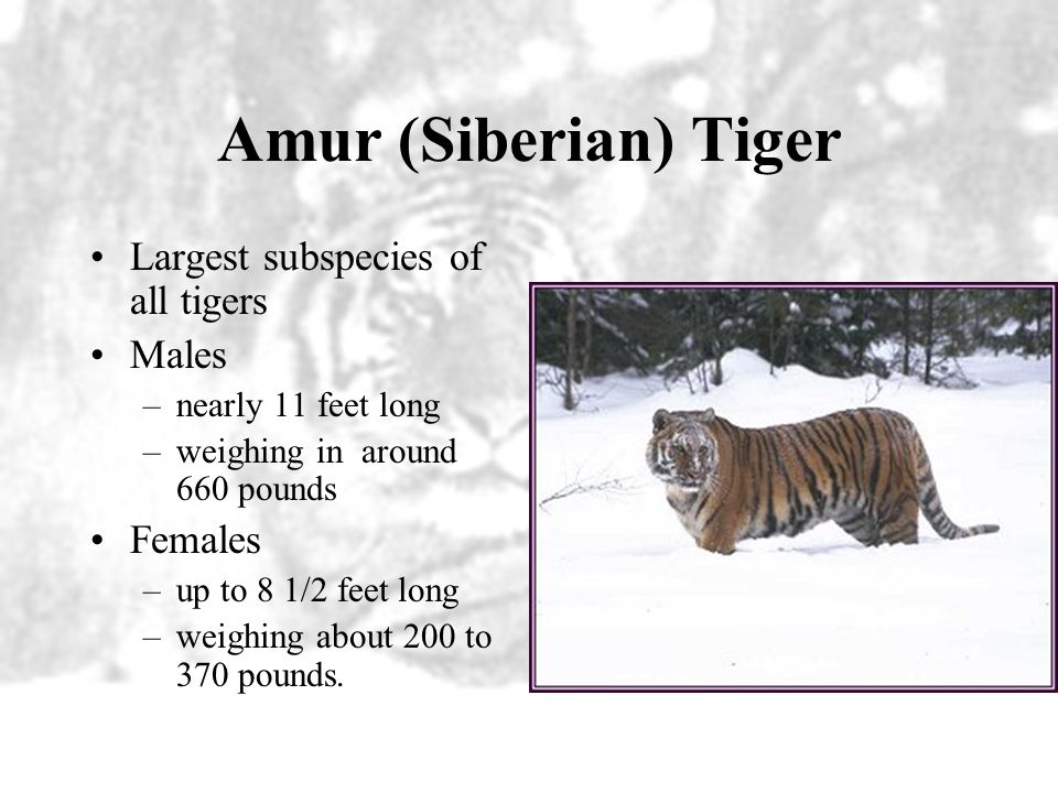 South China Tiger An estimated 20-30 individuals South China tigers still exist in the wild.
