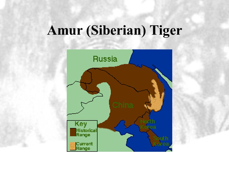 Amur (Siberian) Tiger Secondary areas of emphasis should be those forests that are 90% intact, but some logging is taking place.