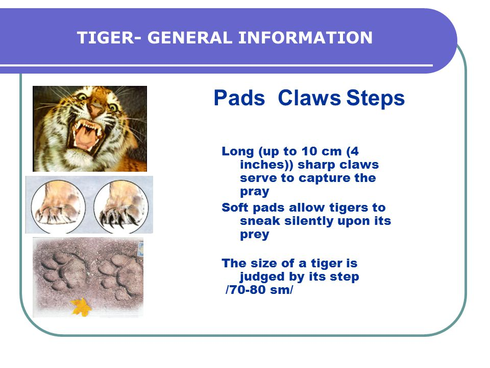 TIGER- GENERAL INFORMATION Pads Claws Steps Long (up to 10 cm (4 inches)) sharp claws serve to capture the pray Soft pads allow tigers to sneak silently upon its prey The size of a tiger is judged by its step /70-80 sm/