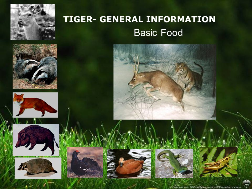 TIGER- GENERAL INFORMATION Basic Food