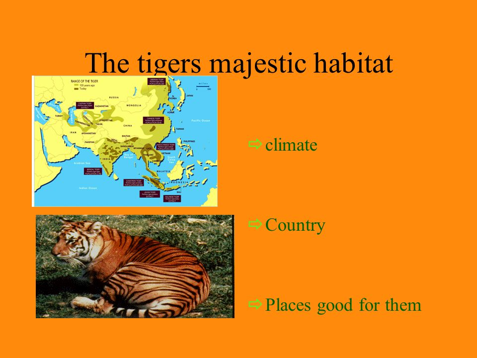 Appearance of the tiger  What they look like  Characteristics  Size  pattern