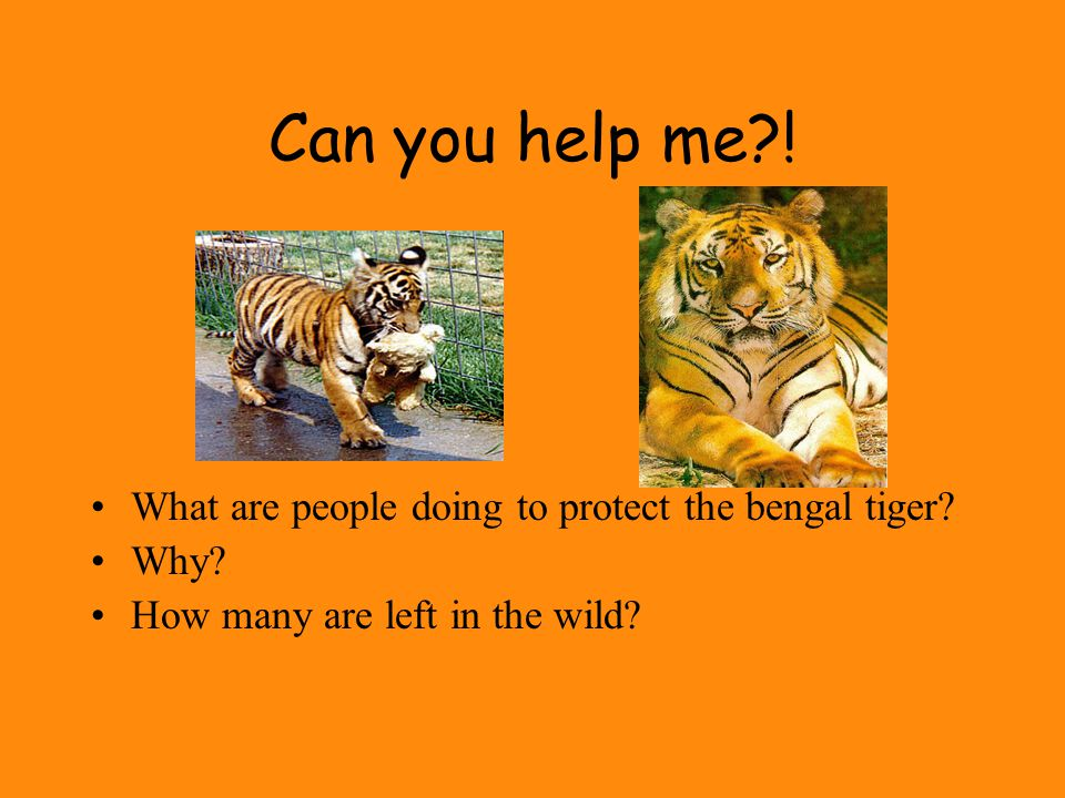 Can you help me?.What are people doing to protect the bengal tiger.