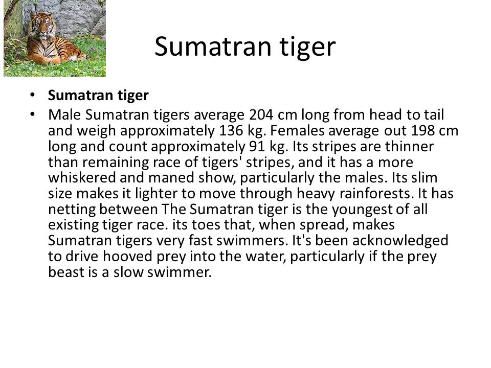 Sumatran tiger Male Sumatran tigers average 204 cm long from head to tail and weigh approximately 136 kg.