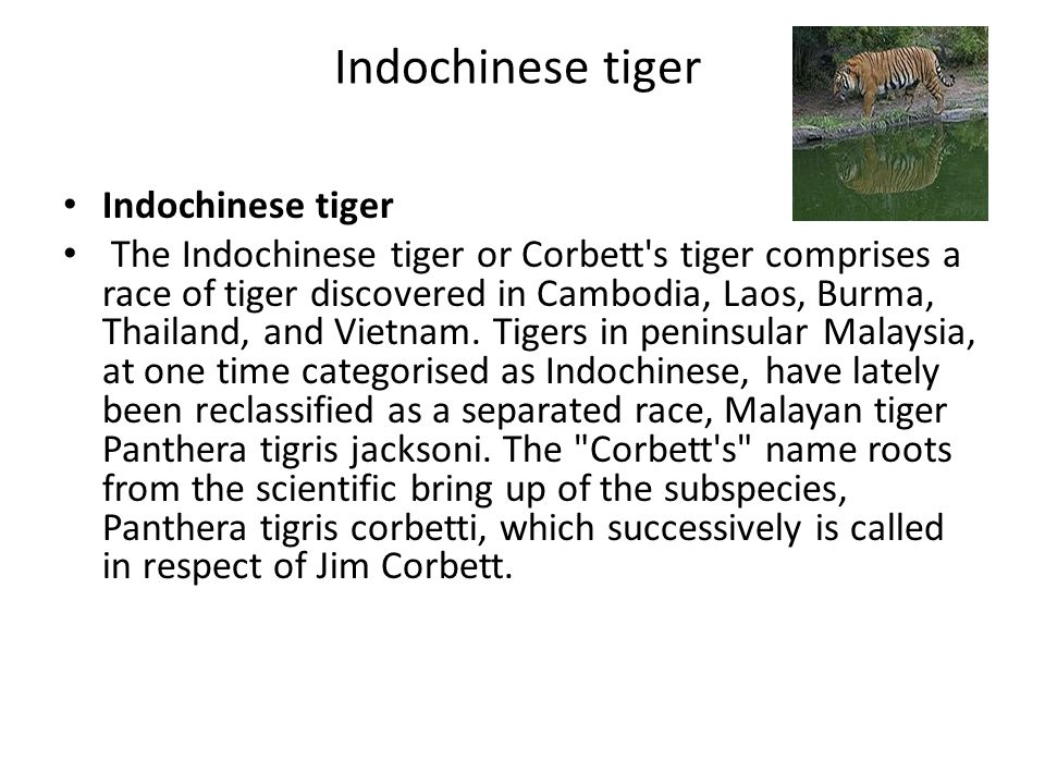 Indochinese tiger The Indochinese tiger or Corbett s tiger comprises a race of tiger discovered in Cambodia, Laos, Burma, Thailand, and Vietnam.