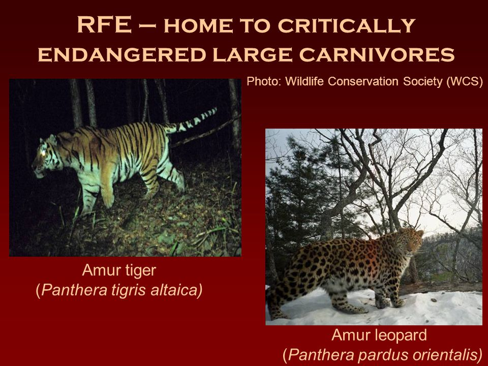 RFE – home to critically endangered large carnivores Amur tiger (Panthera tigris altaica) Amur leopard (Panthera pardus orientalis) Photo: Wildlife Conservation Society (WCS)