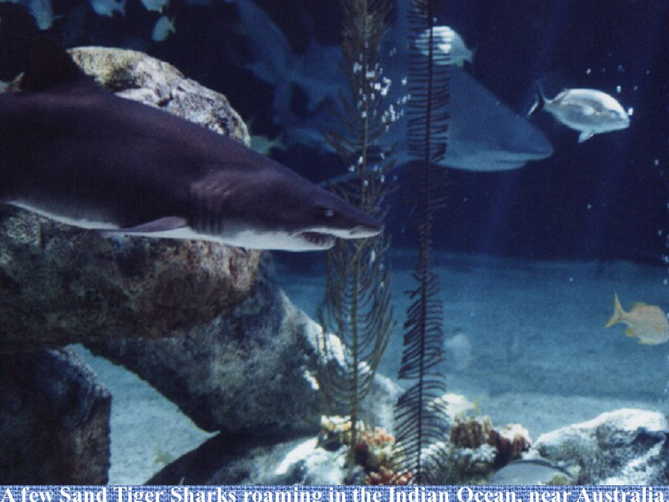 The Sand Tiger Shark (Carcharias taurus) Kelly Griffith & Jessica Bray