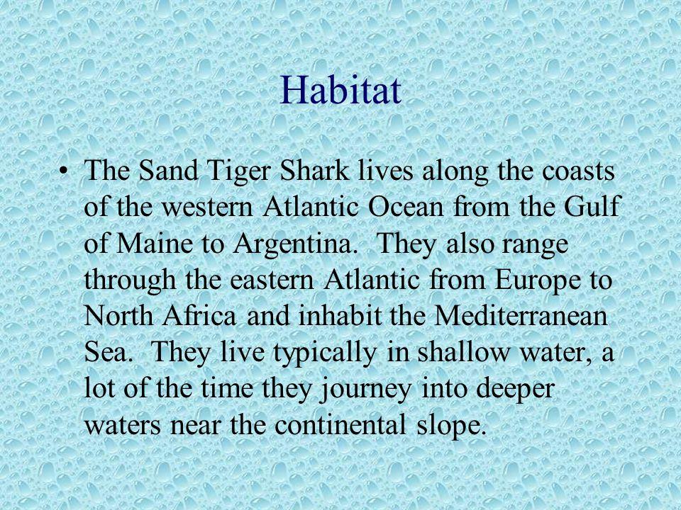 A few Sand Tiger Sharks roaming in the Indian Ocean, near Australia.