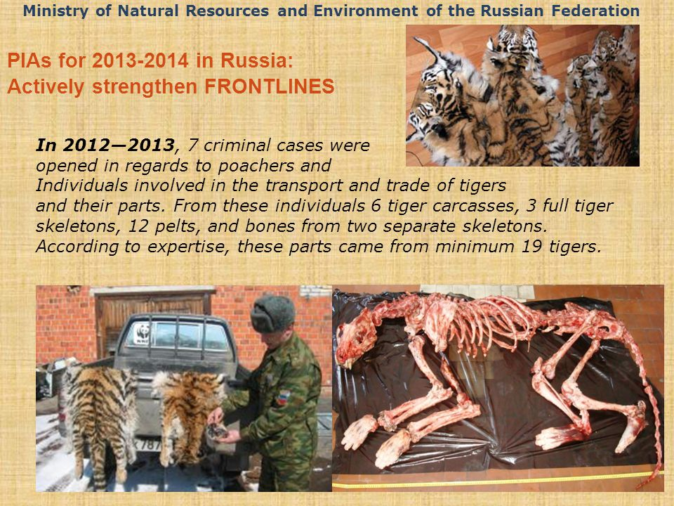 In 2012—2013, 7 criminal cases were opened in regards to poachers and Individuals involved in the transport and trade of tigers and their parts.