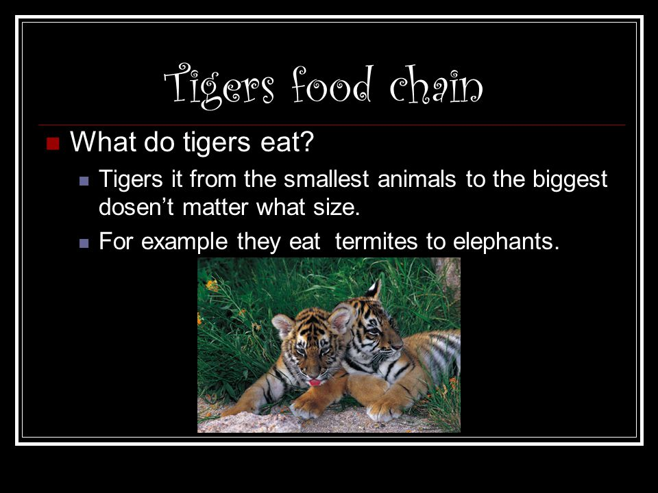 Tigers food chain What do tigers eat? Tigers it from the smallest animals to the biggest dosen't matter what size. For example they eat termites to el