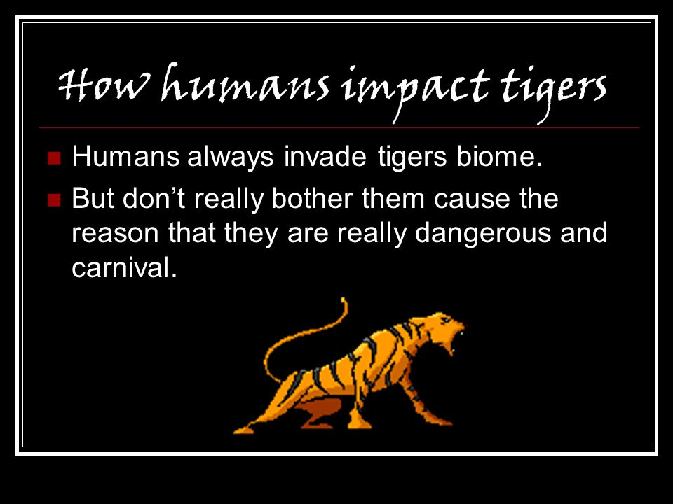How humans impact tigers Humans always invade tigers biome. But don't really bother them cause the reason that they are really dangerous and carnival.