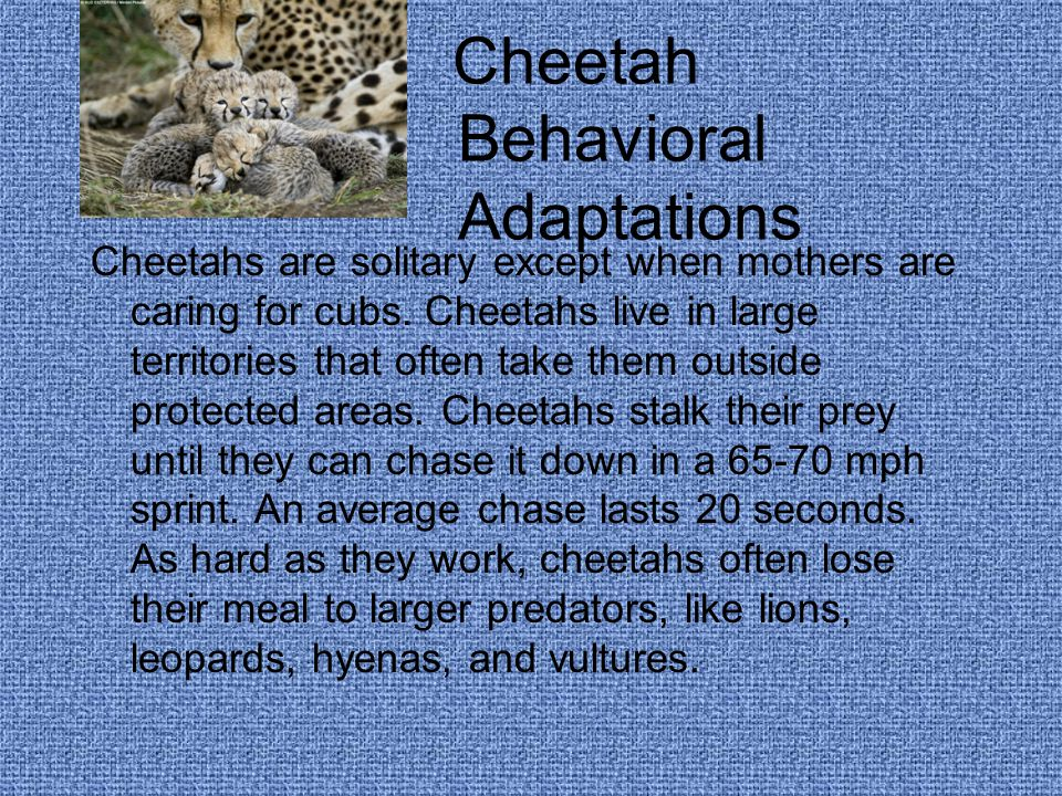 Cheetah Behavioral Adaptations Cheetahs are solitary except when mothers are caring for cubs.