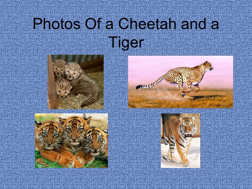 Photos Of a Cheetah and a Tiger
