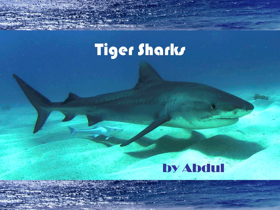Tiger Sharks by Abdul