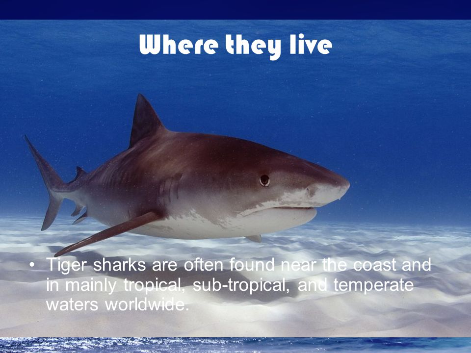 Where they live Tiger sharks are often found near the coast and in mainly tropical, sub-tropical, and temperate waters worldwide.