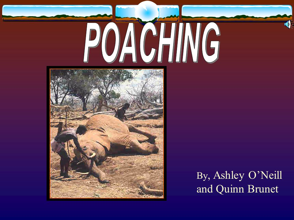 Poaching is hunting out of season or with out a license and using traps The reason why there is endangered species and animals that are extinct is mostly because of poaching Poaching can include any of five factors: Time, location, Number, Method and species.